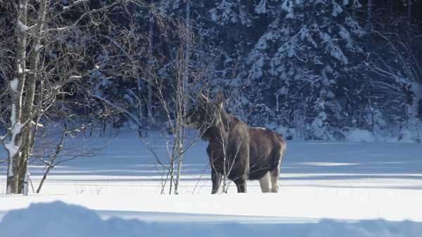 Two European moose in deep snow