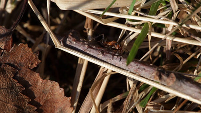 Two red wood ants  meeting on a twig near the mound