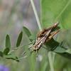 Grasshopper feeding on a leaf