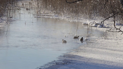Mallard ducks on a cold day at a small river in winter