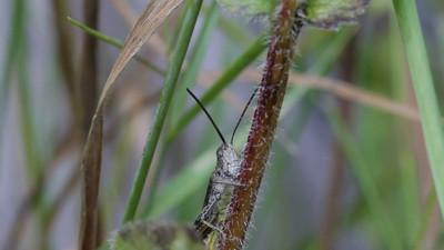 A grasshopper carefully climbs up a flower-stem .