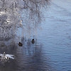 Mallard ducks and White-Throated Dipper on a cold day at a small river in winter