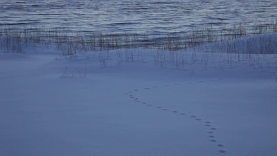 Fox tracks in the snow on a winter beach