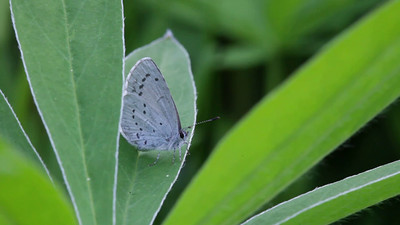 A blue gossamer-winged butterfly rests on a lupine leaf.
