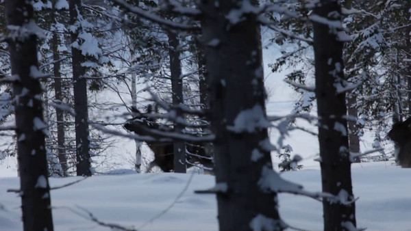 Two European moose run through snowy forest