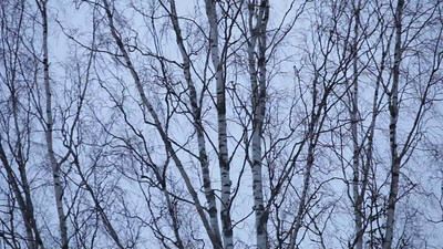 Birch tree shaken by a winter wind