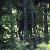 Moose nibbles off a rotting tree stump