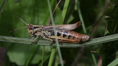 Grasshopper walks along a grass blade in a meadow.