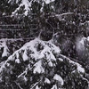 Snow falling on fir branches