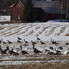 Canada geese and Whooper swans feeding on a snowy field