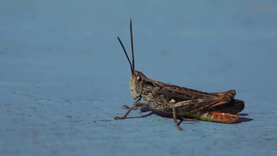 A grasshopper sits clittering on a blue wooden bank.