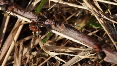 Red wood ants  fighting each other on a twig near the mound of one of the fighting colonies
