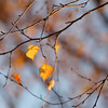 Birch tree (Betula sp.) in autumn