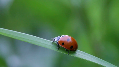 Seven-spotted ladybug scuttling up and down on a blade of grass