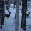 Roe deer standing and watching in a wintry forest at dusk