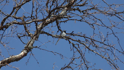 Wagtail (Motacilla alba) singing on a birch twig in early spring.