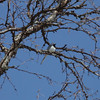 Wagtail (Motacilla alba) singing on a birch twig in early spring.