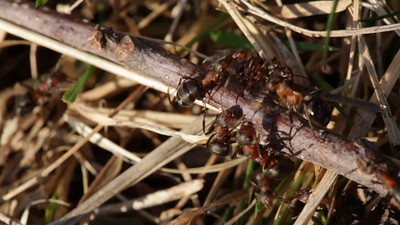 Two red wood ants  fighting on a twig near the mound