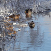Mallard ducks on a cold day at a small river in winter