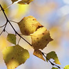 Birch tree (Betula sp.) in autumn on a sunny day.