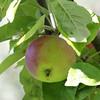 Ripe apple  on a tree