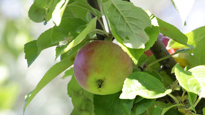 Ripe apple  on a tree