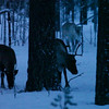 Reindeer are searching food under the snow in wintry forest