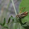 Grasshopper feeding from a leaf