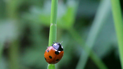 Seven-spotted ladybug on a blade of grass
