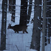 Roe deer searching food in a snow covered fir forest at dusk