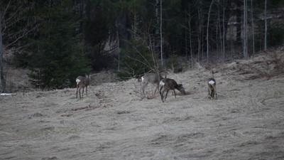 Group of roe deer searching food in early spring