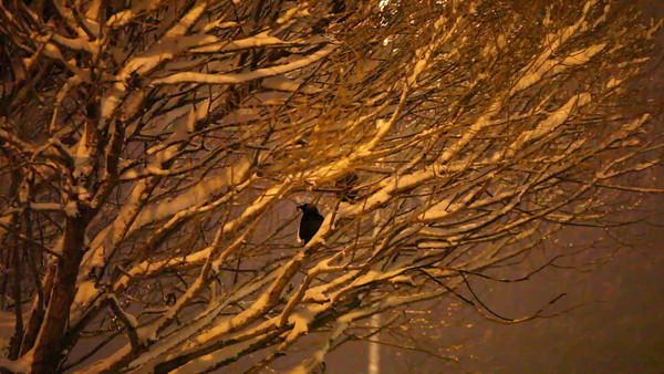 Two jackdaws sitting in a bare tree while it snows at night