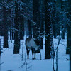 Reindeer are nibbling on the twigs of fir saplings