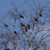Jackdaws squabbling in a tree