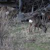 Roe deer buck (Capreolus capreolus) grazing on a meadow