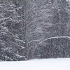 Heavy snowfall in a mixed forest