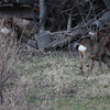Roe deer (Capreolus capreolus) grazing near a farm