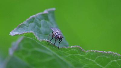 A fly sits on a leaf, then it suddenly flies away.