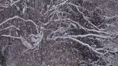 Thick snow is falling on tree branches