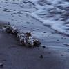 Ice growing on algae lying on a beach in winter