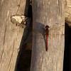 Red dragonfly resting on dry wood