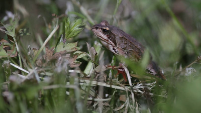 Common frog (Rana temporaria) sitting in a meadow.