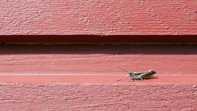 Grasshopper walks along a wooden wall