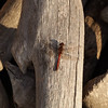 Red dragonfly resting on wood