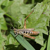Grasshopper climbs over a leaf, then he begins to eat from a grass blade.