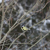 Bird (Great Tit) sitts on a twig in winter