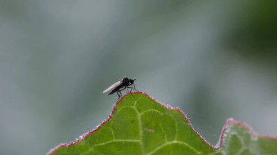 A small fly sits on a leaf, lifts up and alights again.