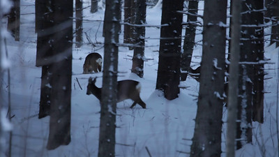 Roe deer searching food in a snow covered forest at dusk