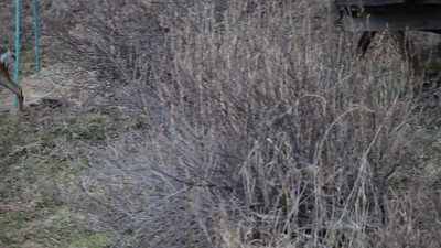 Roe deer buck and doe walking over a meadow