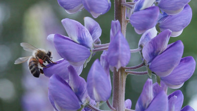 A honey bee gathers pollen from lupine blossoms.
